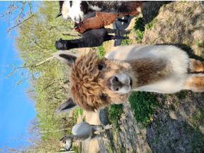 Boughton Alpaca - Friday-Ad