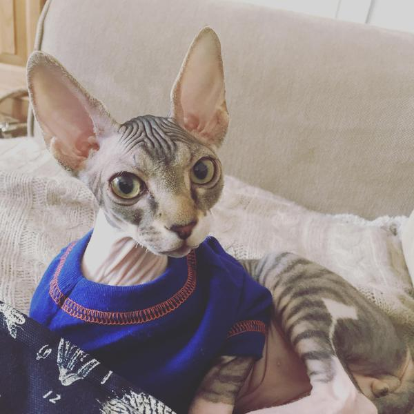 16 Week Old Sphynx Cat Kitten For Sale Tiger Stripes In Grimsby Expired Friday Ad