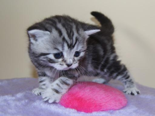Beautiful Silver Tabby British Shorthair Kittens For Sale In Leatherhead Expired Friday Ad