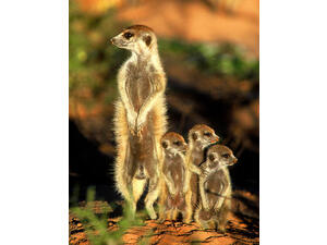 HELP TO FEED MEERKATS & BAT-EARED FOXES IN MID-SUSSEX in East Grinstead