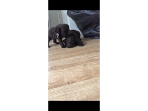 Puppies Dogs For Sale In Maidstone Buy A Puppy Near You Friday Ad