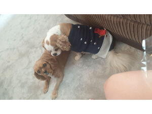 Cavalier King Charles Spaniel Puppies Dogs For Sale Buy A Puppy Near You Friday Ad